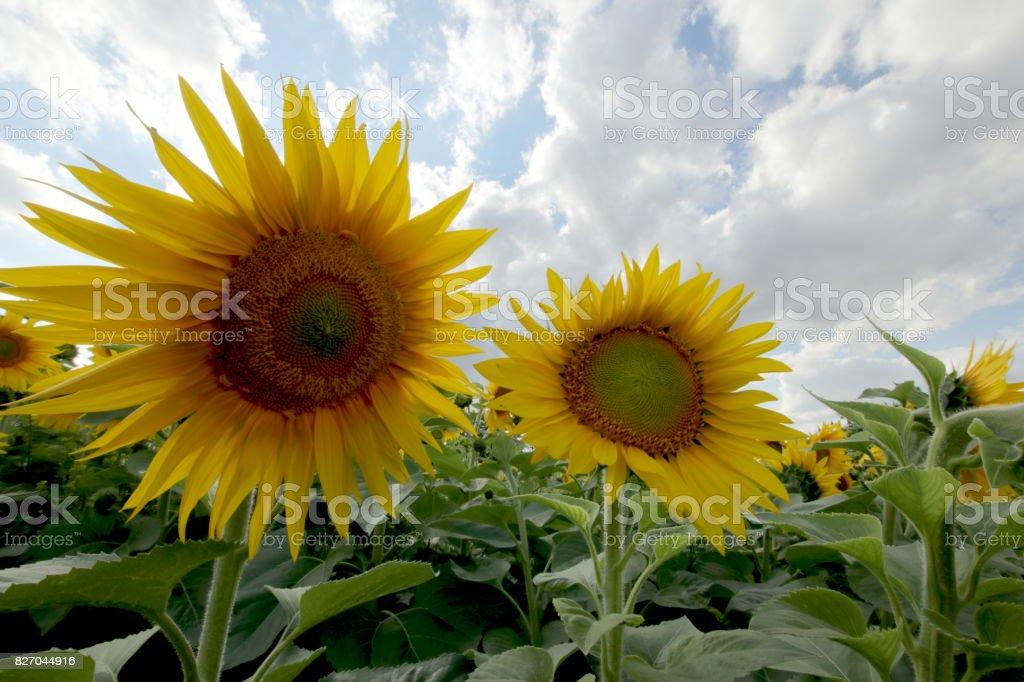 Sonnenblumen stock photo