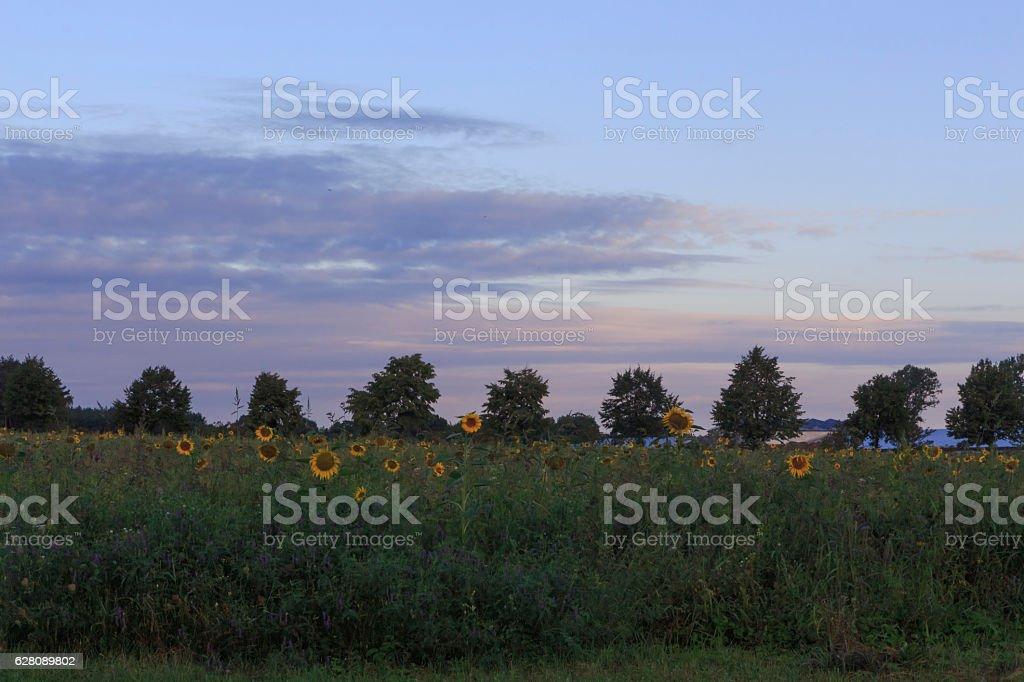Sonnenblumenfeld im Morgenlicht stock photo