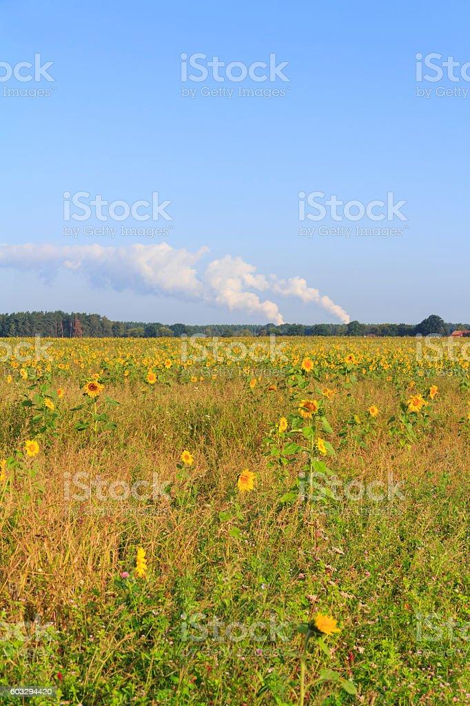 Sonnenblumenfeld stock photo