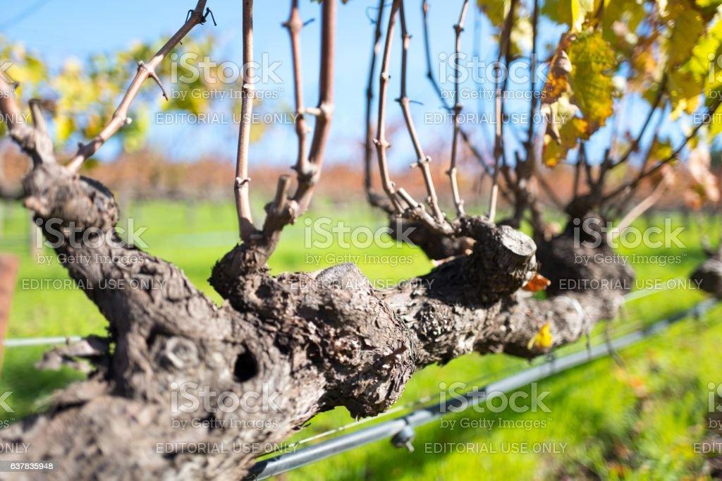 Sonoma County Grapes stock photo