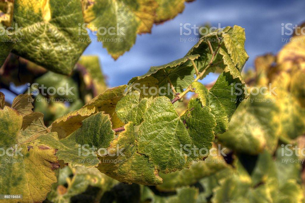 Sonoma County Vines stock photo