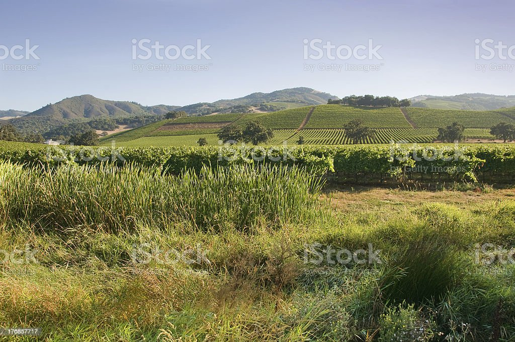 Sonoma Vineyard in the Summer royalty-free stock photo