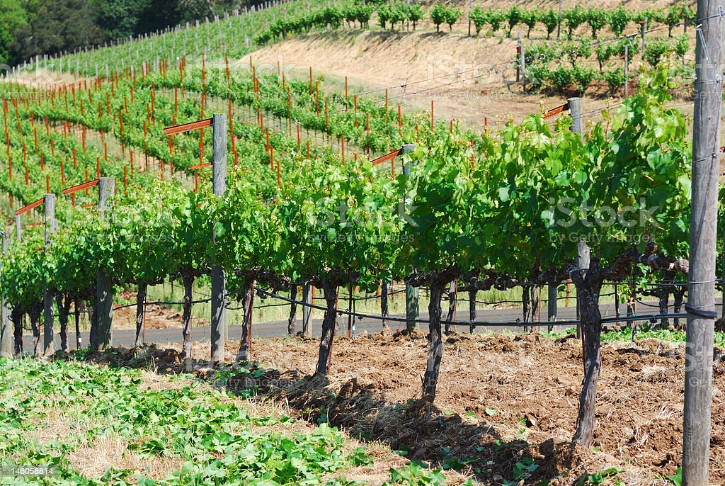 Sonoma Vineyard royalty-free stock photo