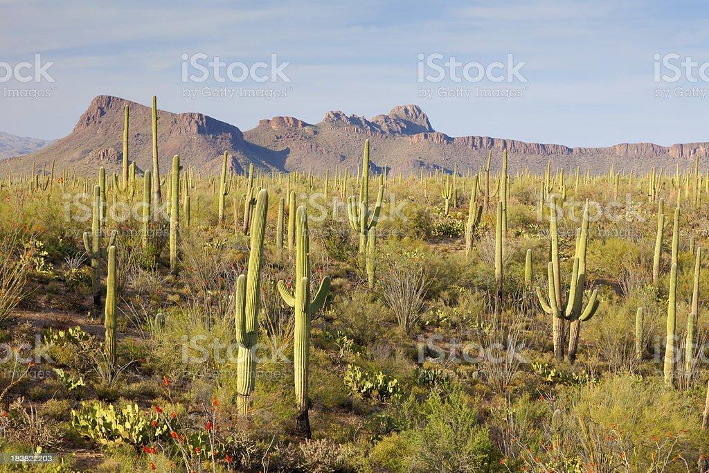 Sonoran Desert and Cactus stock photo