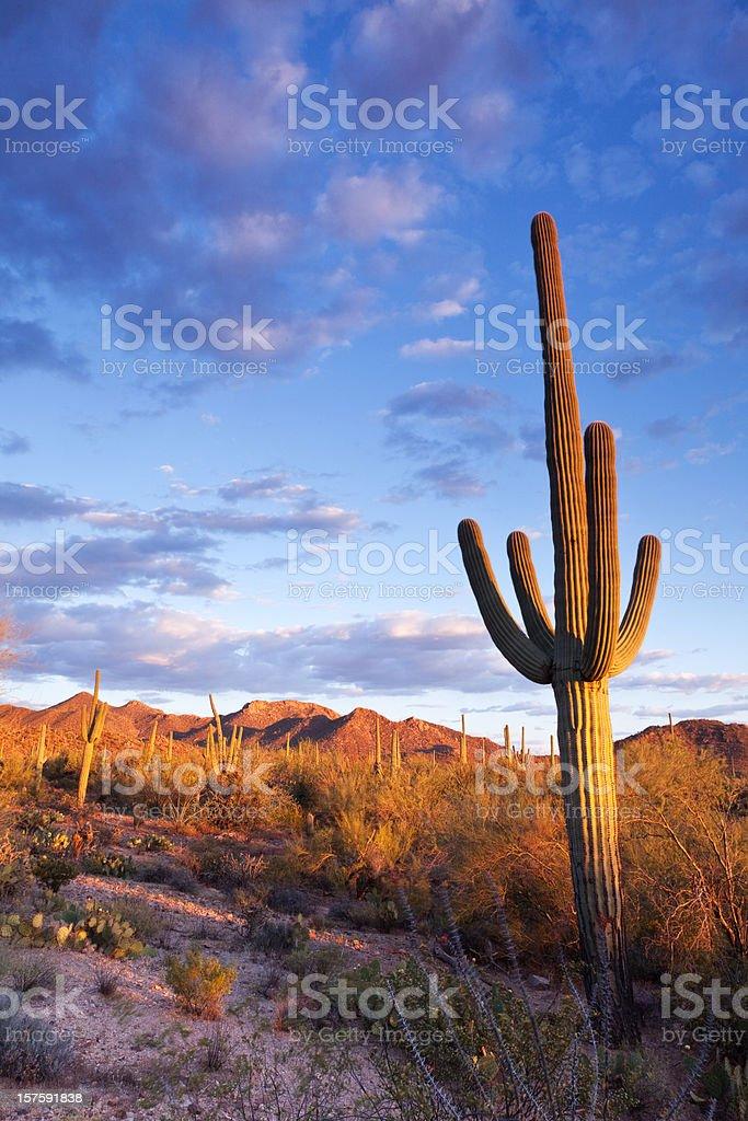 Sonoran Desert and Saguaro Cactus royalty-free stock photo