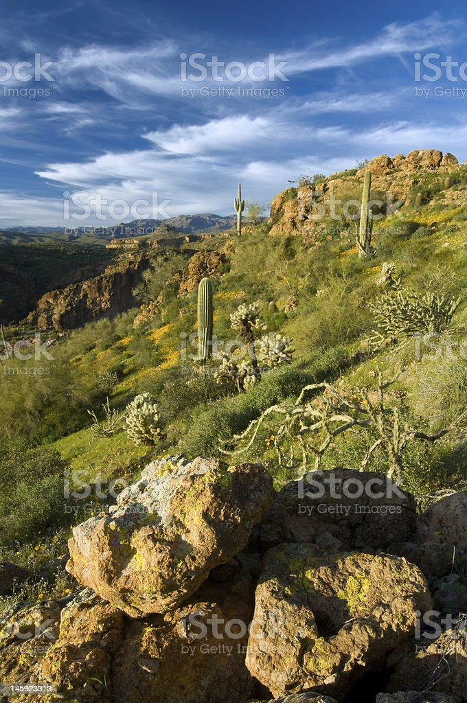 Sonoran Desert in Bloom royalty-free stock photo
