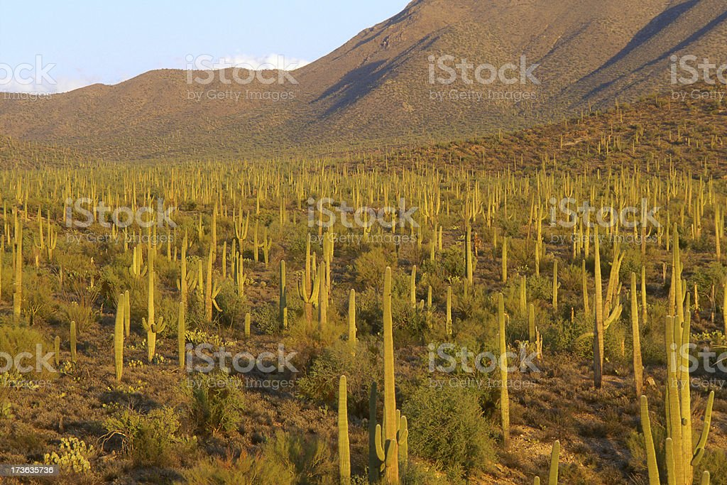 Sonoran Desert Landscape with Saguaro Cactus stock photo