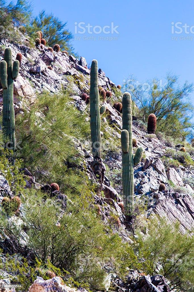 Sonoran Desert Saguaro and Barrel Cactus stock photo