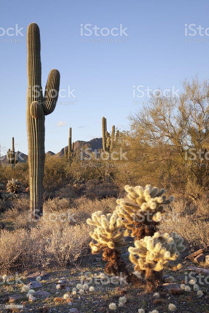 Sonoran Desert Scene royalty-free stock photo