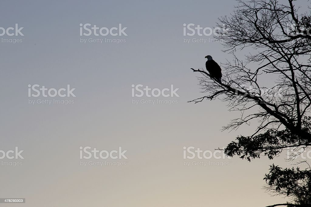 Bald Eagle Silhouette royalty-free stock photo