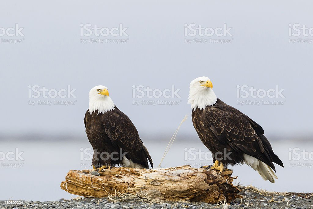 Bald Eagles royalty-free stock photo