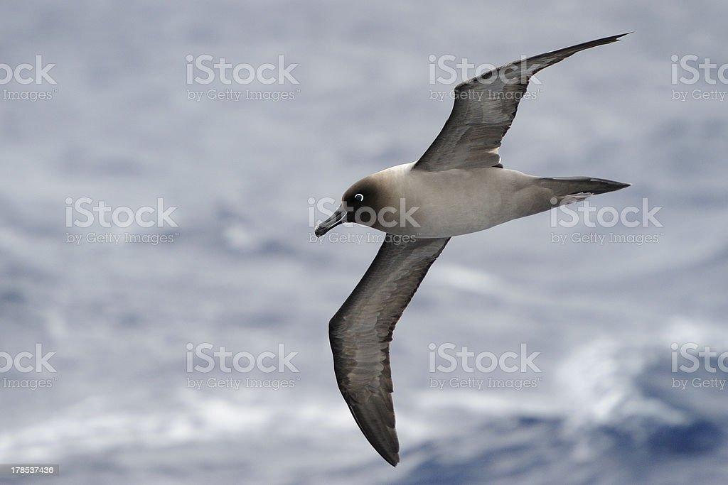 Sooty Albatross in flight stock photo
