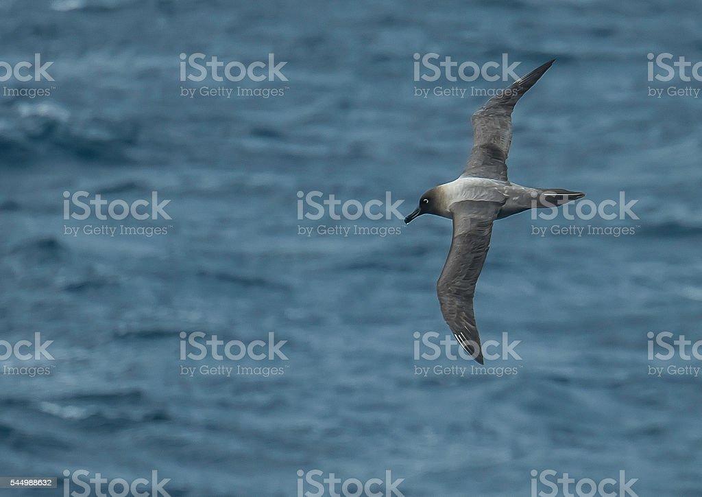 Sooty albatross stock photo