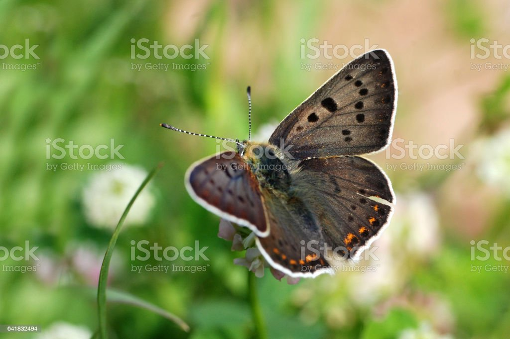 Sooty Copper butterfly stock photo