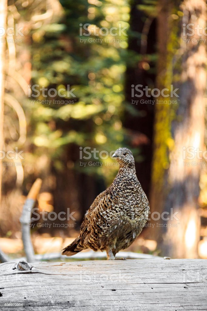 Sooty Grouse on the way to Glacier Point in Yosemite stock photo