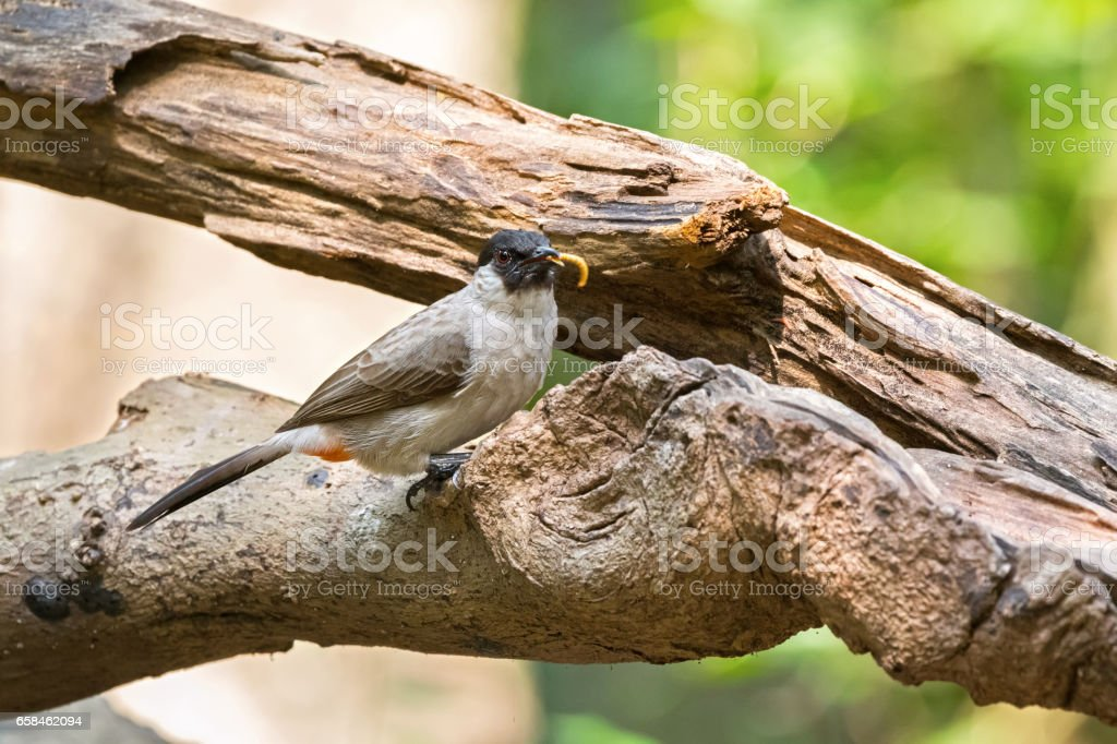 Sooty headed bulbul, song bird with black head, red vent perching on tree with worm in its beaks stock photo