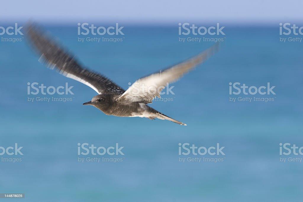 sooty tern flight stock photo
