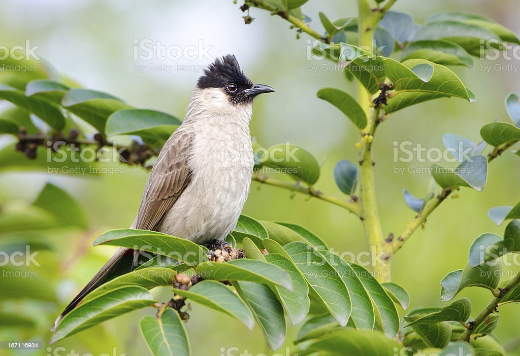 Sooty-headed Bulbul - Hong Kong stock photo