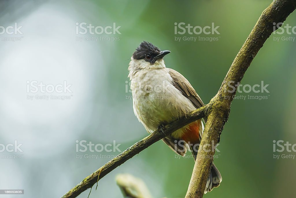 Sooty-headed bulbul royalty-free stock photo