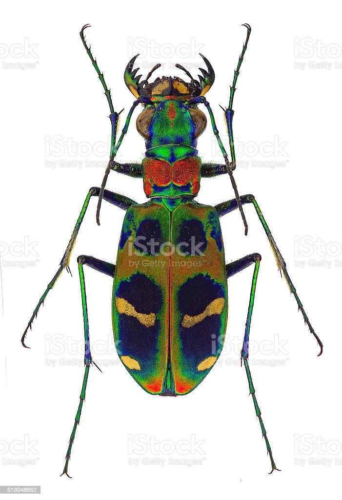 Sophrodela tiger beetle stock photo