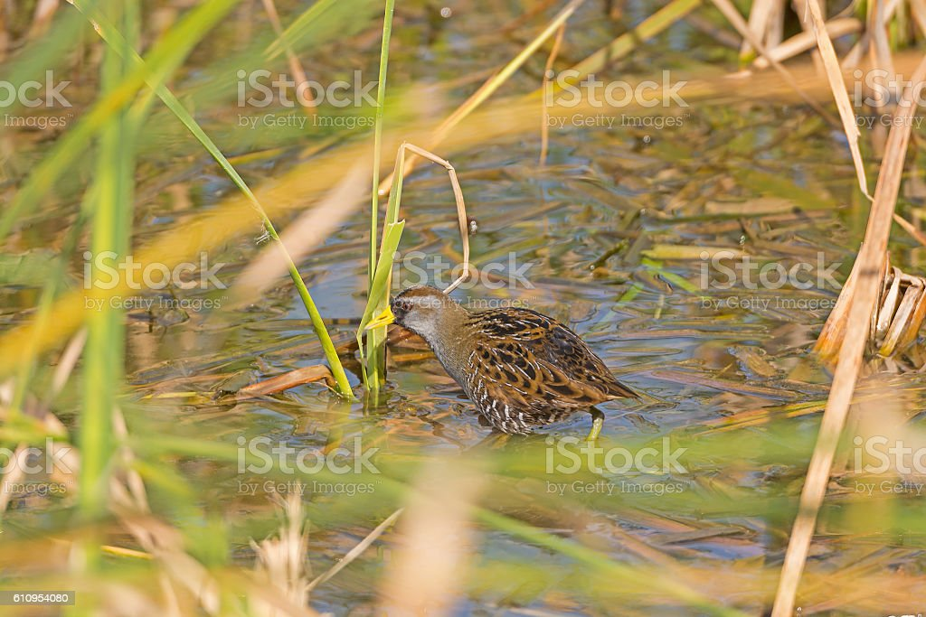 Sora in a Marshland on the hunt stock photo