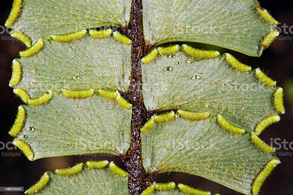 Sori on the underside of a fern leaf royalty-free stock photo