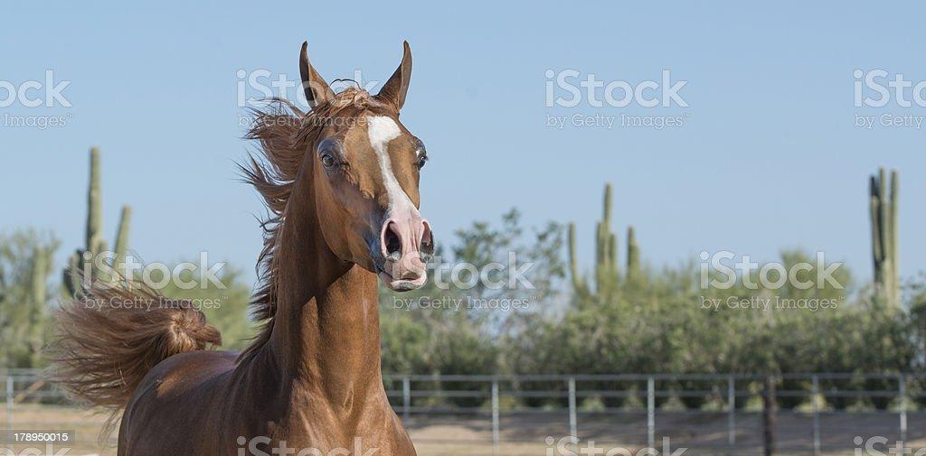Sorrel Arabian groomed for Show stock photo