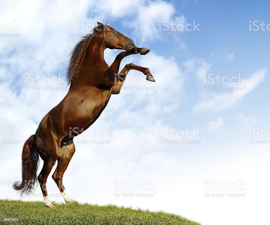 sorrel budenny mare rears stock photo