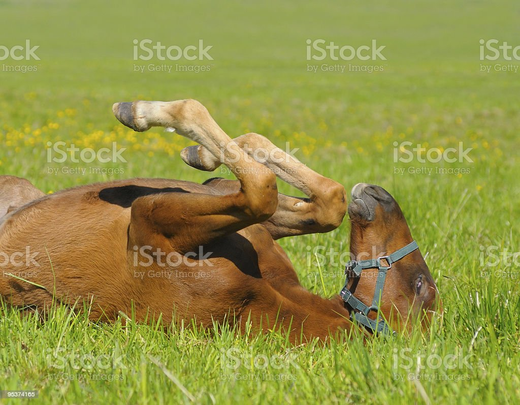 sorrel foal royalty-free stock photo