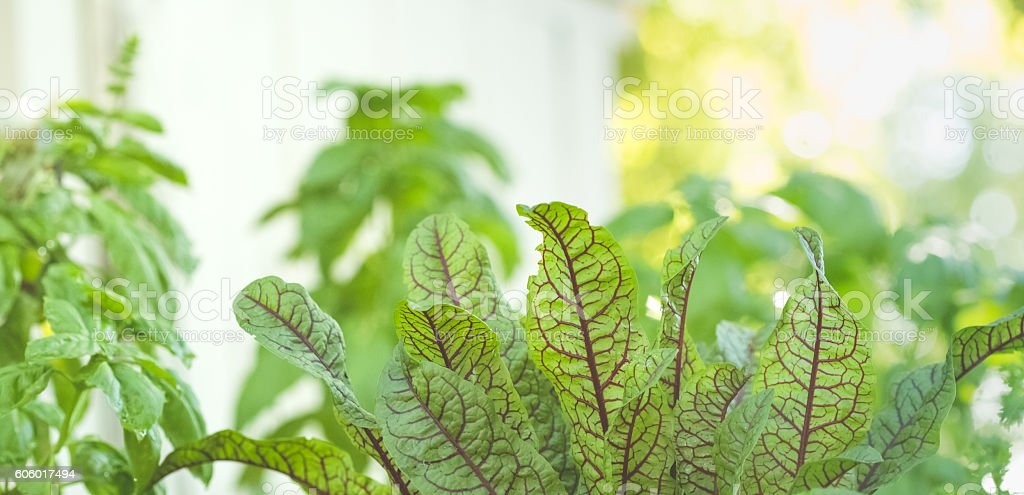 Sorrel Leaves Growing In Summer Herb Garden stock photo