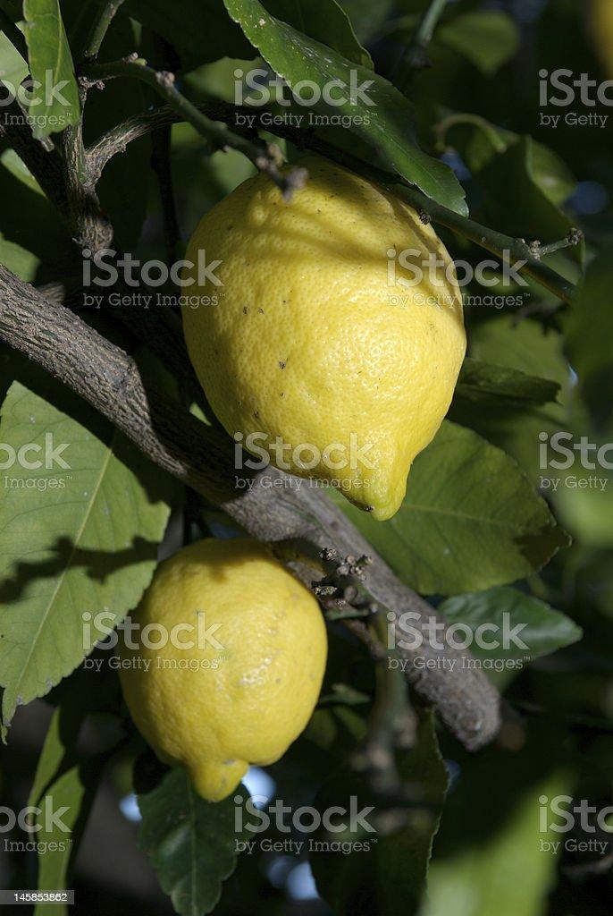 Sorrento lemons royalty-free stock photo