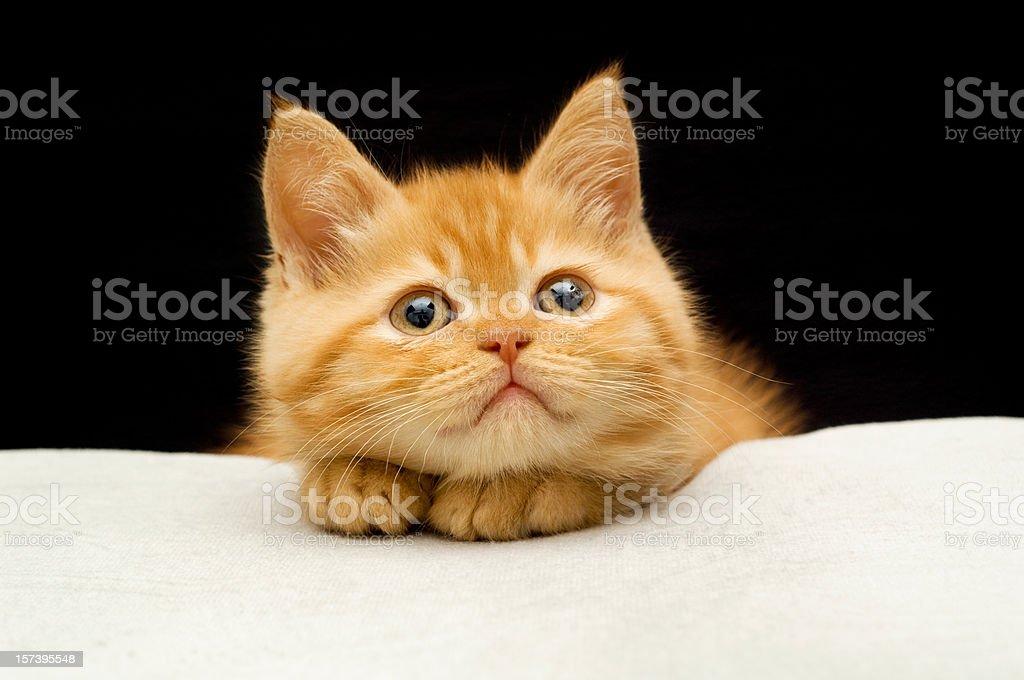 sort hair cat stock photo