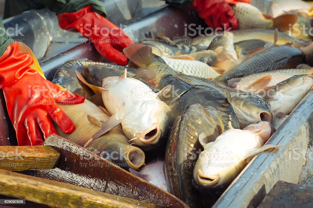 Sorting a freshwater fish stock photo
