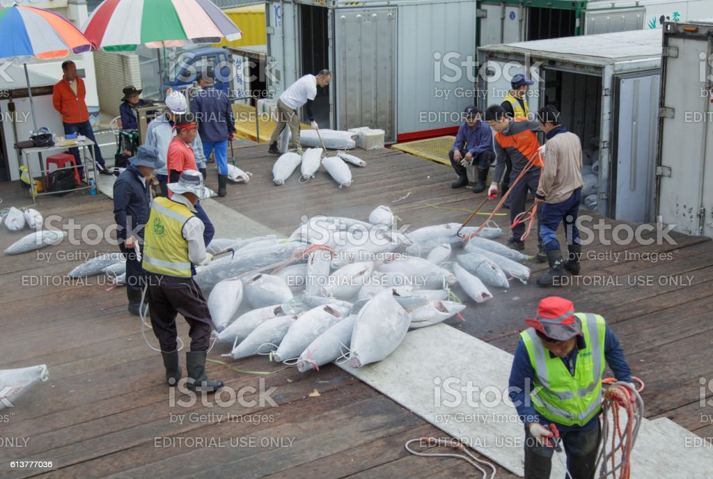 Sorting of a frozen tuna. stock photo