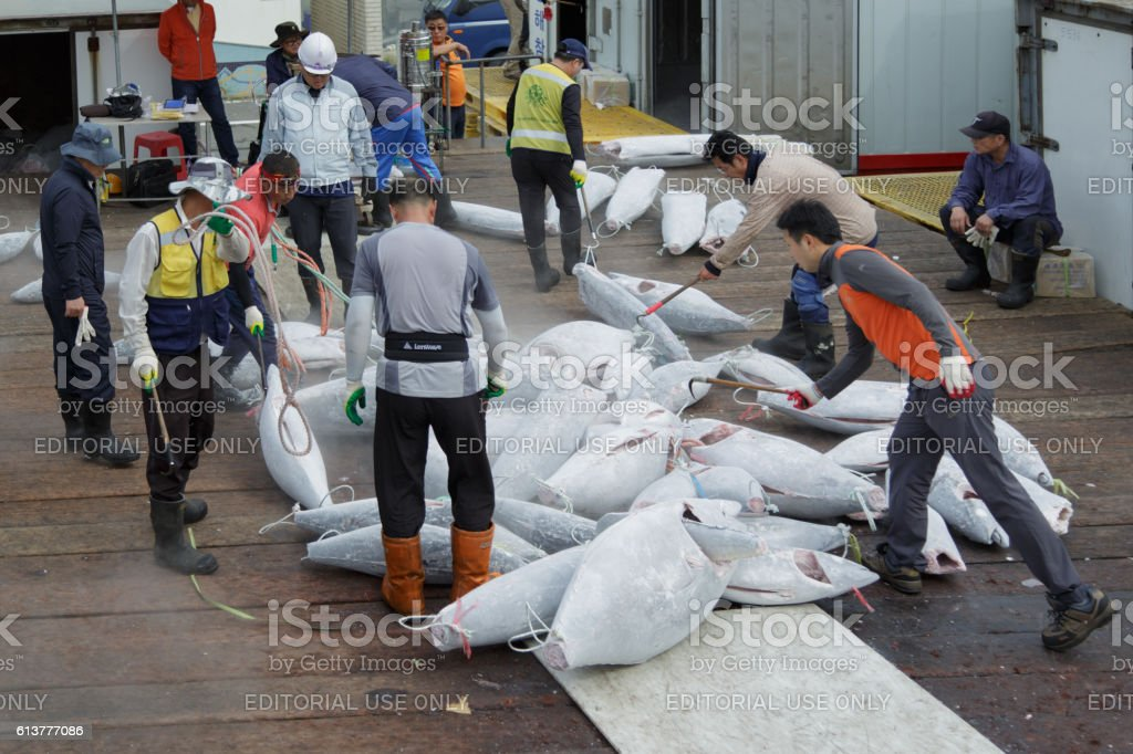 Sorting of hulks of a frozen tuna. stock photo