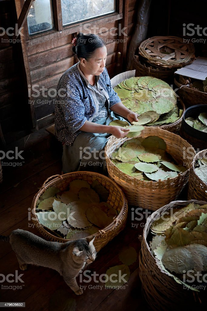 Sorting Tobacco Leaves at a Cigar Factory stock photo