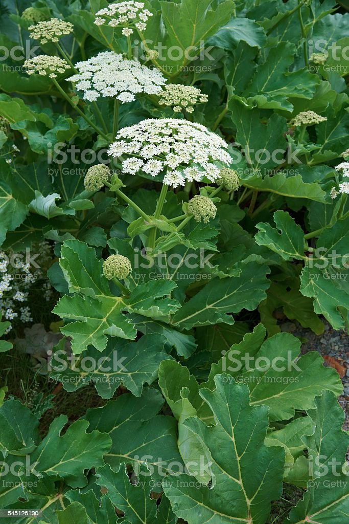 Sosnowsky's hogweed (Heracleum sosnowskyi) is flowering plant infamily Apiaceae stock photo
