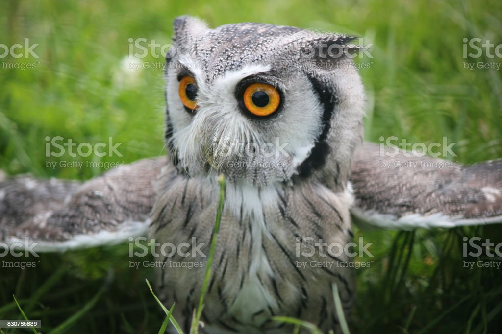 Sothern white faced scops owl . Green grassy natural background . Closeup stock photo