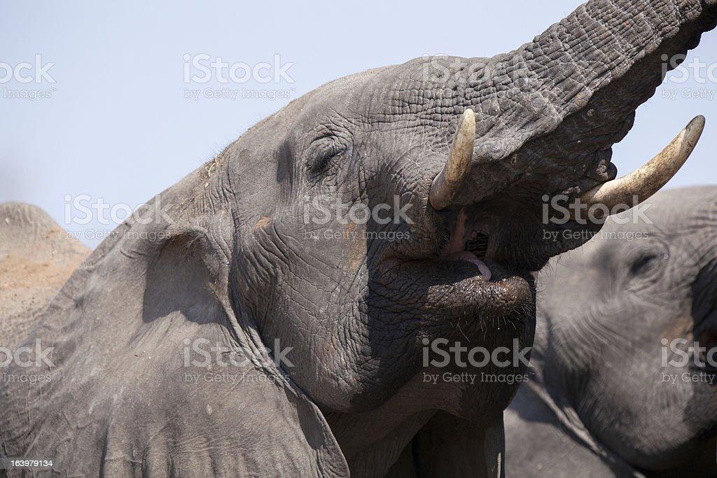 Sound of elephant royalty-free stock photo
