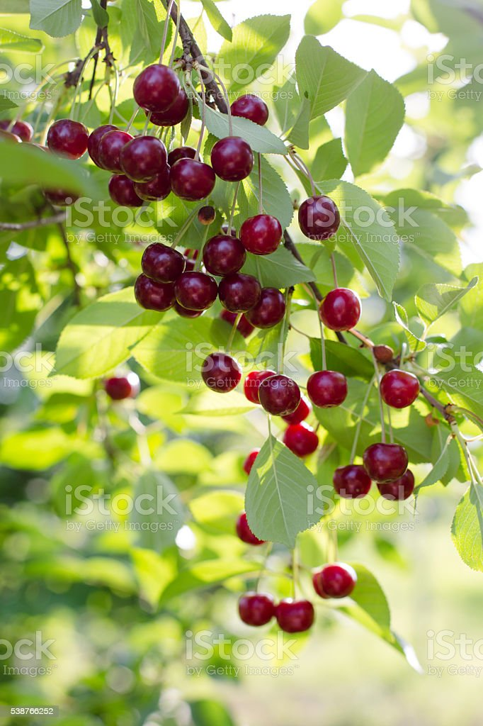 Sour cherries hanging from the tree stock photo