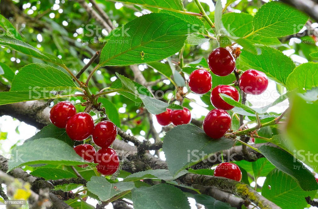 Sour cherries royalty-free stock photo