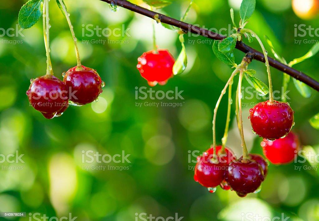 Sour Cherry on Tree stock photo