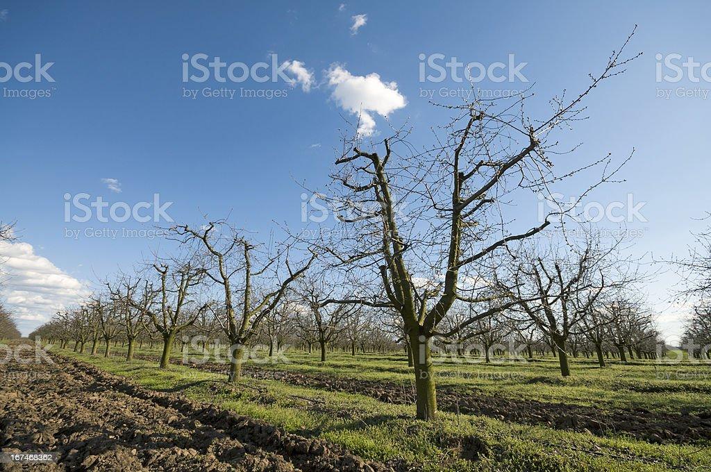 Sour cherry orchard slant royalty-free stock photo