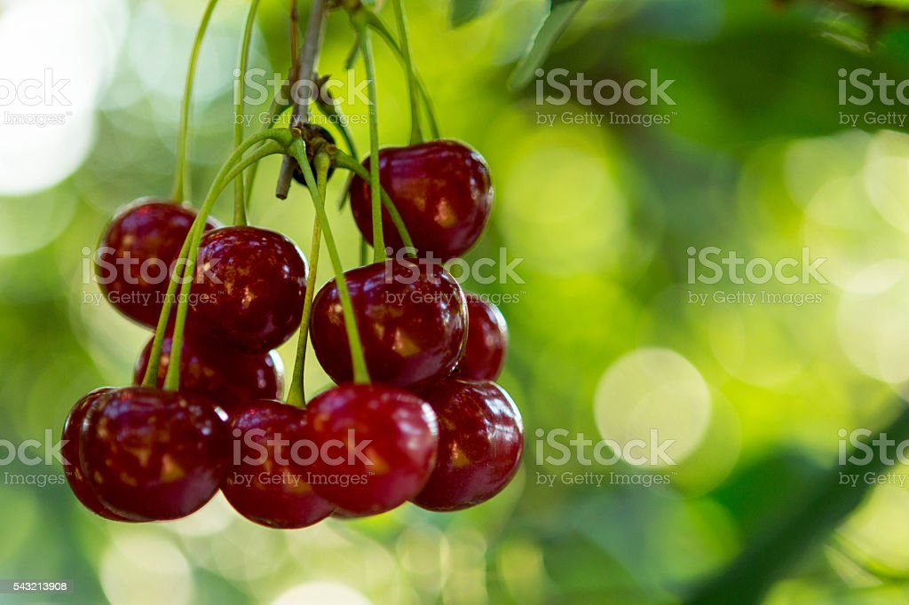 Sour Cherry stock photo