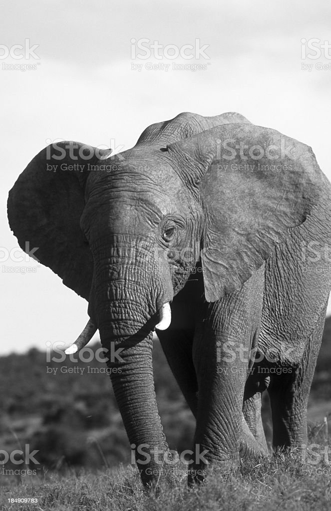 South Africa, African elephant. royalty-free stock photo