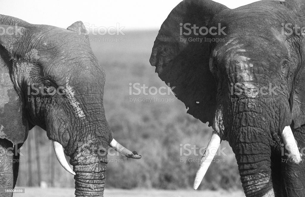 South Africa, African elephants. royalty-free stock photo