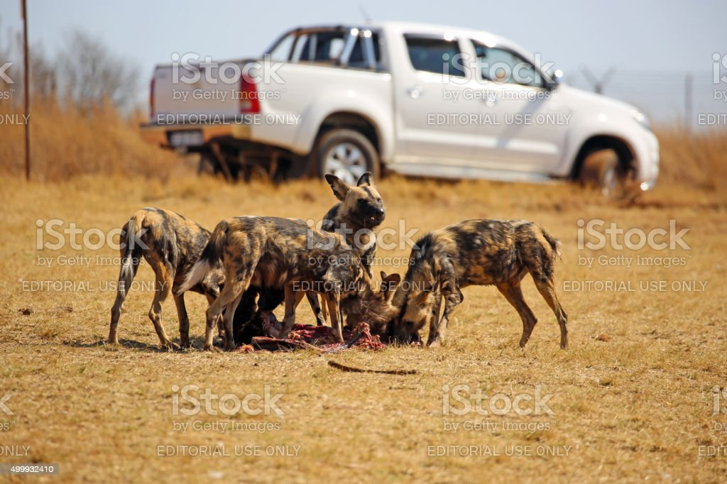 South Africa: African Wild Dogs near Krugersdorp stock photo