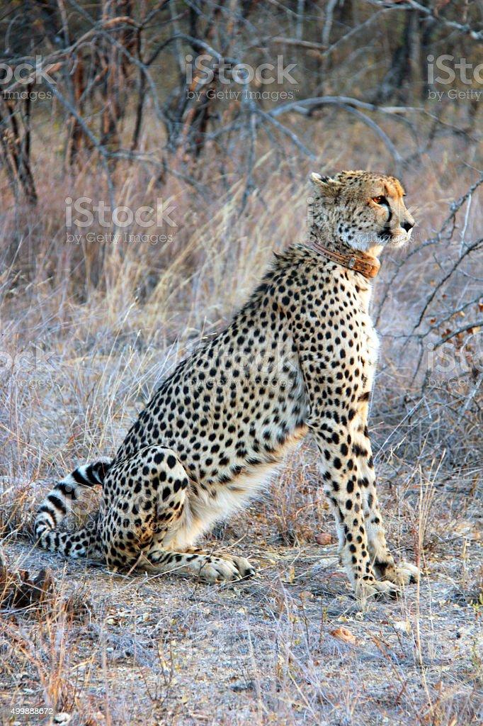 South Africa: Cheetah near the Karongwe River stock photo