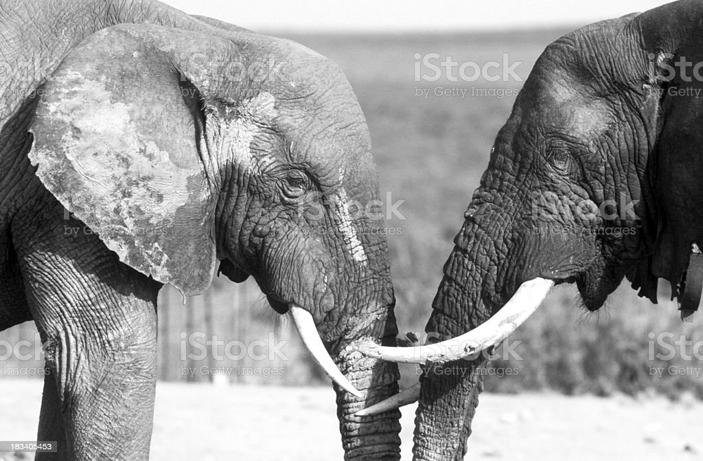 South Africa, Eastern Cape Province, African Elephants. royalty-free stock photo
