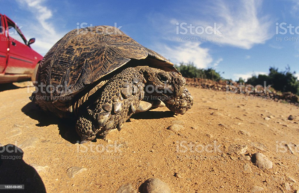 South Africa, Eastern Cape Province, Tortoise. stock photo